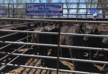 Corryong Livestock Sale September 2018